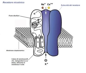 Recettore_nicotinico