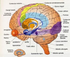 psicologo_frosinone_maurobruni_sistema limbico